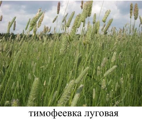 Заготовка сена для шиншилл